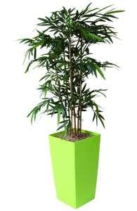 Plante BAMBOU