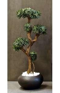 Plantes d'intérieur - Podocarpus
